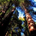 Muir Woods – Eine Kathedrale aus Bäumen